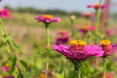 Belles fleurs de zinnia pourpre en nature Image libre de droits