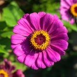 Belles fleurs de zinnia pourpre en nature Photographie stock libre de droits