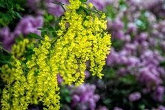 Belles fleurs des arborescens de Caragana ou du plan rapproché jaune d'acacia Photos libres de droits
