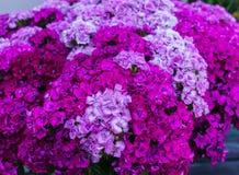 Belles fleurs des oeillets d'étudiant dans un bouquet énorme image stock