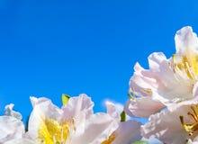 Belles fleurs du blanc de Cunningham de rhododendron sur le fond du ciel bleu photo stock
