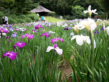 Belles fleurs en Meiji Jingu Park photo libre de droits