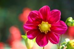 Belles fleurs en nature photo libre de droits