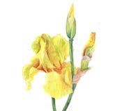 Belles fleurs et bourgeons d'iris jaune sur le fond blanc Photos stock
