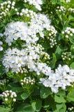 Belles fleurs et bourgeons de spirea fleurissant en parc ou jardin d'été image libre de droits