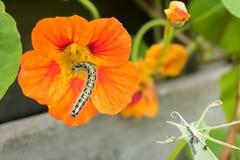 Belles fleurs et chenilles décorant la nature Photos stock