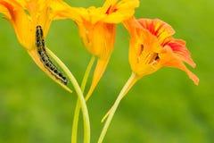 Belles fleurs et chenilles décorant la nature Photo stock