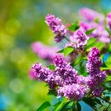 Belles fleurs fleurissantes d'arbre lilas au ressort Photo libre de droits