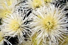 Belles fleurs fraîches blanches, pétales, fond naturel, beauté de jardin Photographie stock