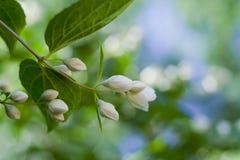 Belles fleurs fraîches de jasmin Photo stock