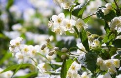 Belles fleurs fraîches de jasmin Photographie stock libre de droits