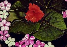 Belles fleurs fraîches et grande feuille dans l'étang après la pluie Images stock