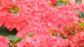 Belles fleurs fraîches roses sur l'exposition en parc de Keukenhof, Hollande banque de vidéos