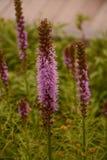 Belles fleurs grandes de Liatris d'étoile de flambage photos libres de droits