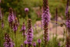 Belles fleurs grandes de Liatris d'étoile de flambage photos stock
