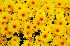 Belles fleurs jaune-orange fraîches, pétales, fond naturel, beauté de jardin Image stock