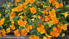 Belles fleurs jaunes Photos stock
