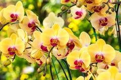 Belles fleurs jaunes d'orchidée image stock