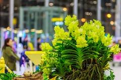 Belles fleurs jaunes d'orchidées d'Ascocenda décorées chez Suvarnab Images libres de droits