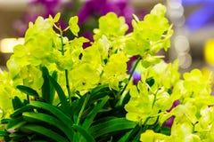 Belles fleurs jaunes d'orchidées d'Ascocenda décorées chez Suvarnab Image stock