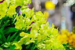 Belles fleurs jaunes d'orchidées d'Ascocenda décorées chez Suvarnab Photographie stock libre de droits