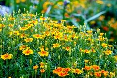 Belles fleurs jaunes dans le jardin Image libre de droits