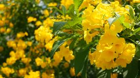 Belles fleurs jaunes dans les groupes sur les branches d'un buisson Fond floral normal Humeur de ressort, ensoleillé et lumineux banque de vidéos