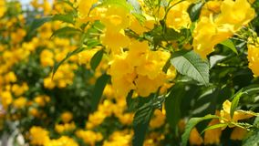 Belles fleurs jaunes dans les groupes sur les branches d'un buisson Fond floral normal Humeur de ressort, ensoleill? et lumineux banque de vidéos