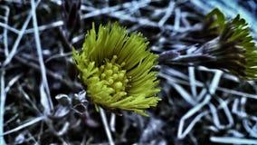 Belles fleurs jaunes de coltsfoot en début de l'été Photographie stock