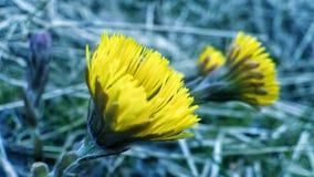 Belles fleurs jaunes de coltsfoot en début de l'été Images libres de droits