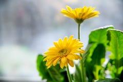 Belles fleurs jaunes de gerbera de marguerite sur l'humeur de ressort et d'été de fenêtre images stock