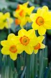 Belles fleurs jaunes de jonquille Images libres de droits