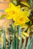 Belles fleurs jaunes de jonquille Image libre de droits