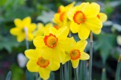Belles fleurs jaunes de jonquille Photographie stock