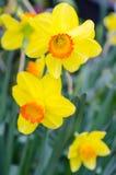 Belles fleurs jaunes de jonquille Photo stock