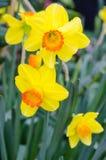 Belles fleurs jaunes de jonquille Photographie stock libre de droits