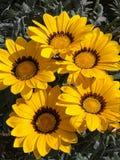 Belles fleurs jaunes de nature Image libre de droits