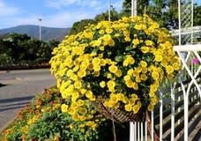 Belles fleurs jaunes de pensée Images libres de droits