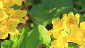 Belles fleurs jaunes de ressort illuminées par le soleil de matin clips vidéos
