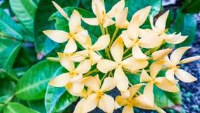 Belles fleurs jaunes de transitoire d'Ixora en Maldives photos stock