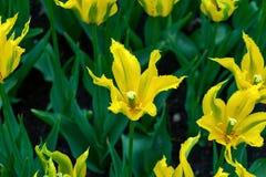 Belles fleurs jaunes de tulipe avec le jardin aigu de pétales au printemps photographie stock