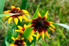 Belles fleurs jaunes lumineuses de rudbeckia dans le jardin photo stock