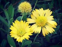 belles fleurs jaunes naturelles en parc image libre de droits