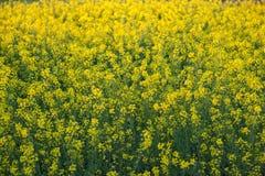 Belles fleurs jaunes organiques de moutarde dans le domaine, images stock