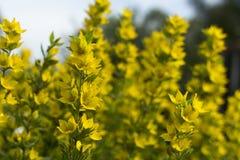 Belles fleurs jaunes Plan rapproché photographie stock libre de droits