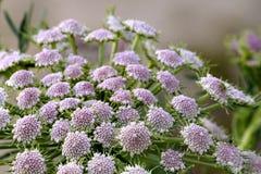 Belles fleurs minuscules avec le ton subtil de pourpre et blanc roses image stock