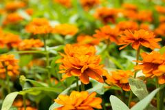Belles fleurs oranges avec les feuilles vertes images libres de droits