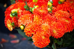 Belles fleurs oranges de dahlias Images stock