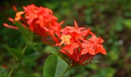 Belles fleurs oranges de transitoire dans le jardin image libre de droits