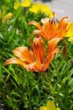 Belles fleurs oranges sur un lit vert de ville Promenade de ville photo stock